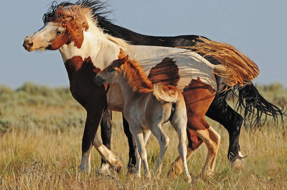 This young foal sticks close to her mother even during numerous advances from a rogue stallion.