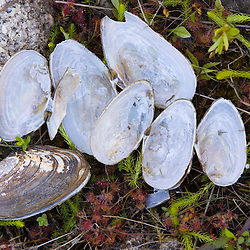 Fresh water clam shells and sundew on the shore of Katahdin Lake in Maine's Northern Forest. Near Baxter State Park.