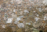 Competing lichen colonies form an intricate polygon pattern on a rock along Lower Sunwapta Falls Trail in Jasper National Park, Canadian Rockies, Alberta, Canada. Jasper is the largest national park in the Canadian Rocky Mountain Parks World Heritage Site declared by UNESCO in 1984.