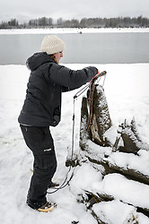 Rachel Wheat, a graduate student at the University of California Santa Cruz, gently resets one of the leg snare traps being used to trap bald eagles on the gravel bar of the Chilkat River. Leg snare traps employ a lopped cord draped over a hinged perch. When a bald eagle lands on the perch a spring is sprung which tightens the looped cord around the bald eagle's legs. Wheat is conducting a bald eagle migration study of eagles that visit the Chilkat River for her doctoral dissertation. She hopes to learn how closely eagles track salmon availability across time and space. The bald eagles are being tracked using solar-powered GPS satellite transmitters (also known as a PTT - platform transmitter terminal) that attach to the backs of the eagles using a lightweight harness. During late fall, bald eagles congregate along the Chilkat River to feed on salmon. This gathering of bald eagles in the Alaska Chilkat Bald Eagle Preserve is believed to be one of the largest gatherings of bald eagles in the world.