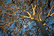 Brazil nut tree, Peruvian Amazon rainforest