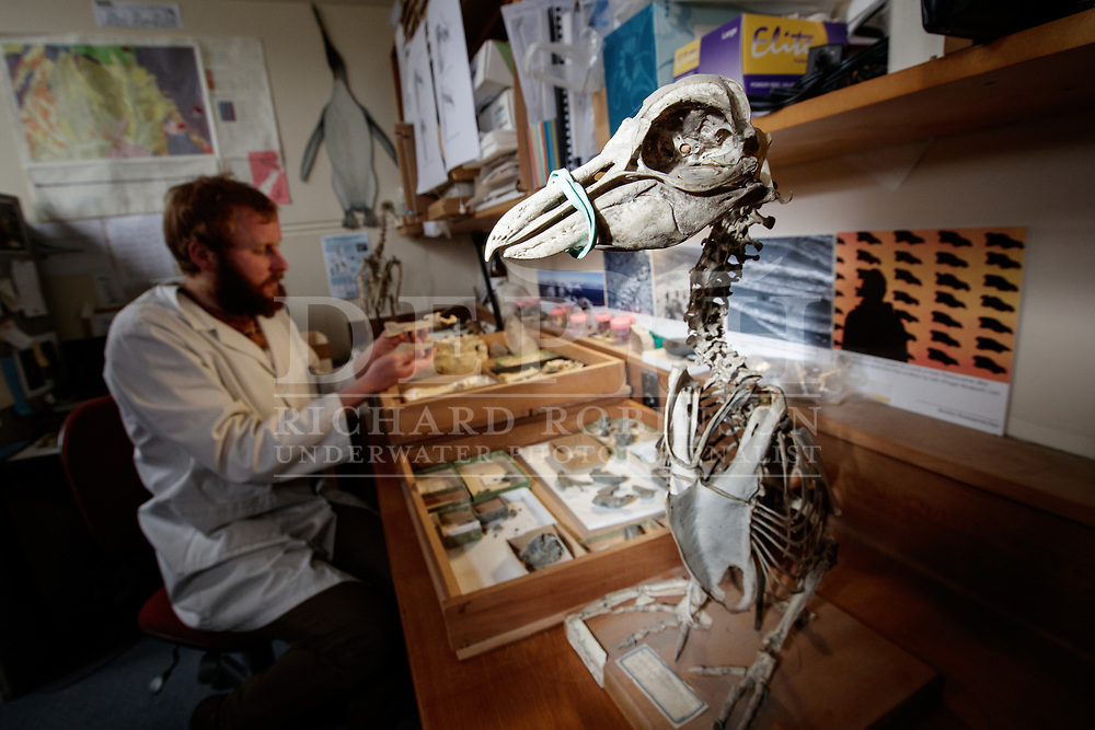 Master&rsquo;s student Marcus Richards prepares penguin fossils at the University of Otago, continuing a tradition of penguin science in the province. The first penguin fossil in the world to be officially described was collected near Oamaru in 1848, and, numerous species have been unearthed from the fossil-rich Otago hinterland. Richards&rsquo; supervisor, Ewan Fordyce, has described several important paleopenguin species, including the giant Kairuku penguins that once inhabited these coasts.<br /> Shot on assignment for New Zealand Geographic Issue 143 January-February 2017.<br /> Photograph Richard Robinson &copy; 2017 No Reproduction without Prior Written Permission