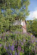 Björkar, lupiner och falurött hus i Sweden Hills, Hokkaido, Japan