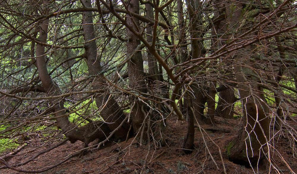 Single Spruce (Picea abies) tree with multiple trunk. Western Tatras, Slovakia. June 2009. Mission: Ticha