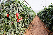 Bell pepper farm. Peppers are cultivated insdie a hothouse to keep them moist and cool. Photographed in Israel