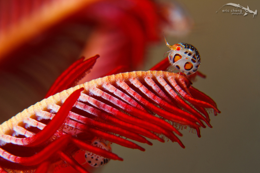 A ladybug amphipod in the Cyproideidae family sits on the outstretched arm of a feather star (crinoid). Yellow Wall, Nusa Kode, Rinca, Komodo National Park, Indonesia.