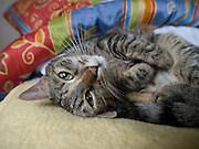 Haus- und Stra&szlig;enkatze Speedy liegt auf einer Decke und ruht sich aus.<br /> <br /> Street- and housecat Speedy relaxing on a bed.