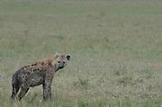 Kenya, Masai Mara, Spotted hyaena (Crocuta crocuta)