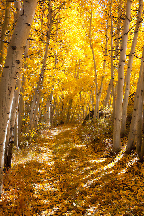 stumbled upon this lovely little path near Aspendel, California while photographing in the eastern Sierra Mountains of California. The Aspens were sparkling golden in their peak of fall color