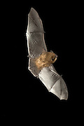 A California myotis (Myotis californicus) in flight in the Rogue River National Forest, Oregon