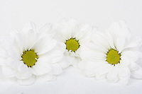 Chrysanthemums on white background - close-up