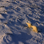 Polar Bear (Ursus maritimus). An aerial of two bears on Hudson Bay, Canada.