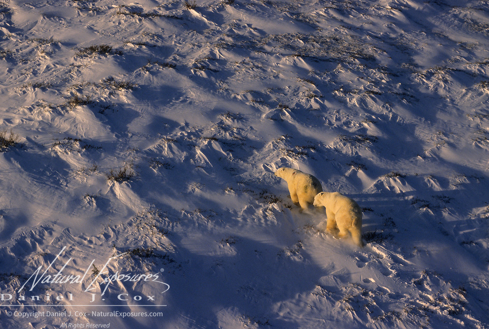 Polar Bear (Ursus maritimus). An aerial of two bears on Hudson Bay, Canada.