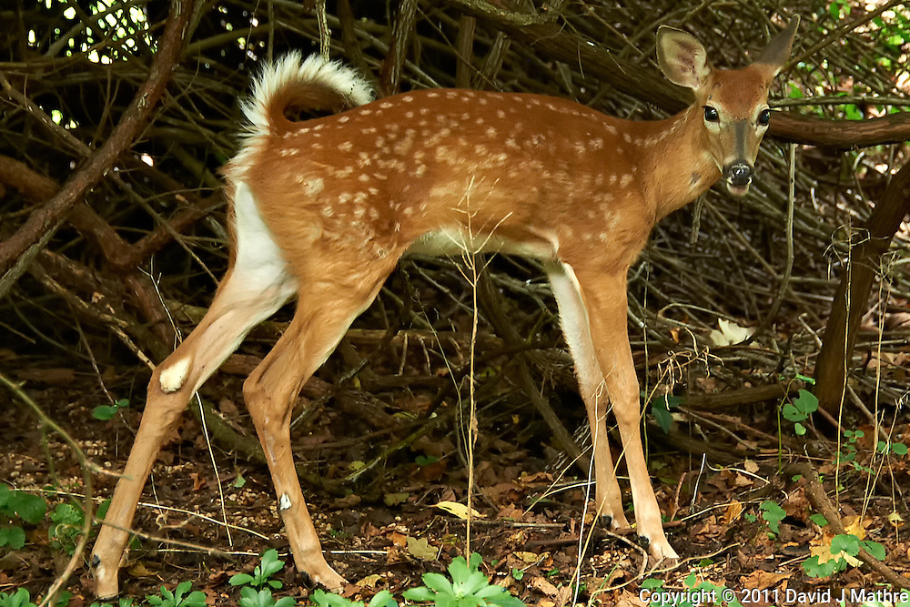 Fawn with Long Legs. Backyard Nature in my Backyard -- Summer in New Jersey. Image taken with a Nikon D700 and 28-300 mm lens (ISO 1600, 125 mm, f/5.6, 1/30 sec). Raw image processed with Capture One Pro 6, Nik Define 2, and Photoshop CS5.