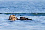 With arms folded behind its head a floating sea otter lets out a huge yawn