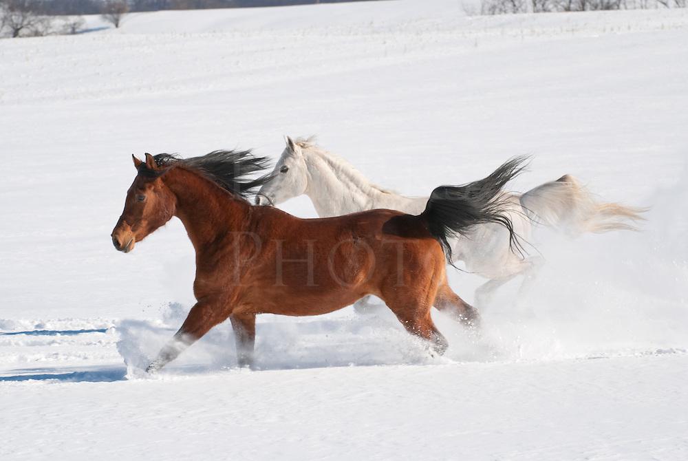 Picture of two Arabian horses running across field in new fallen snow.