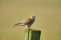 Kestrel (Falco tinnunculus) female, perched on a post, Elmley Marshes RSPB Reserve, England