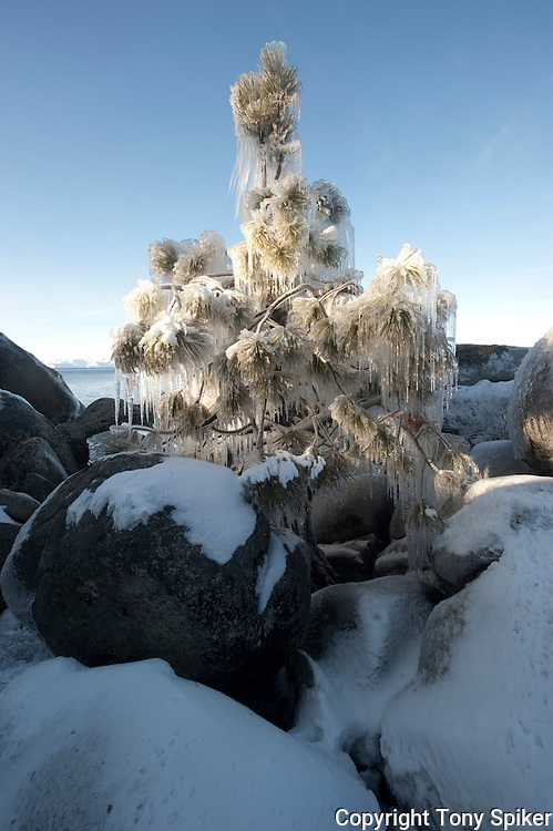 """Icy Tree 2"" - A photograph of icicles hanging from a tree at Sand Harbor, on the Eastern Shore of Lake Tahoe"
