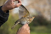 Scientist inspecting a Song Thrush (Turdus philomelos). This bird inhabits woodland, hedgerows and enclosed gardens, and feeds on insects, worms, snails and fruits. It is a timid creature and usually feeds under cover, being camouflaged by its speckled plumage. It gets its name from its flute-like repetitive calls. Photographed in israel in January