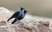 Pair of house crow (Corvus splendens) from Saali, Rajasthan, India.
