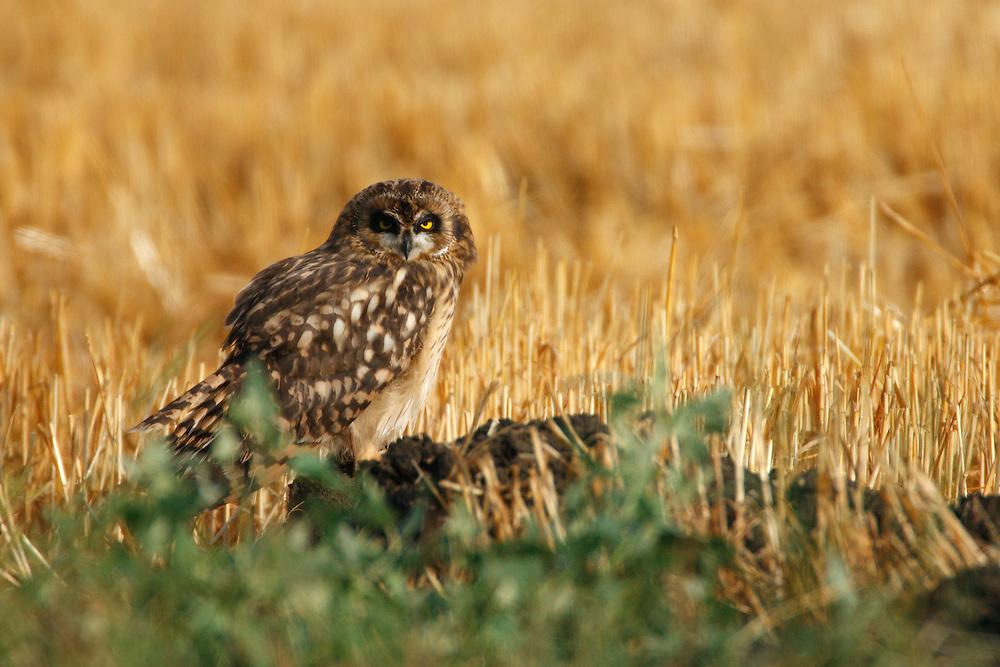Young Short-eared Owl sitting on steppe fields, Bagerova Steppe, Kerch Peninsula, Crimea, Ukraine