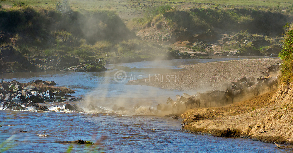 Herds of wildebeests and a few sebras crossing Mara River (Kenya) as a part of their annual great migration. Photo from August 2014.