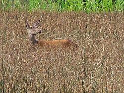 Irish Red Deer in Rushes