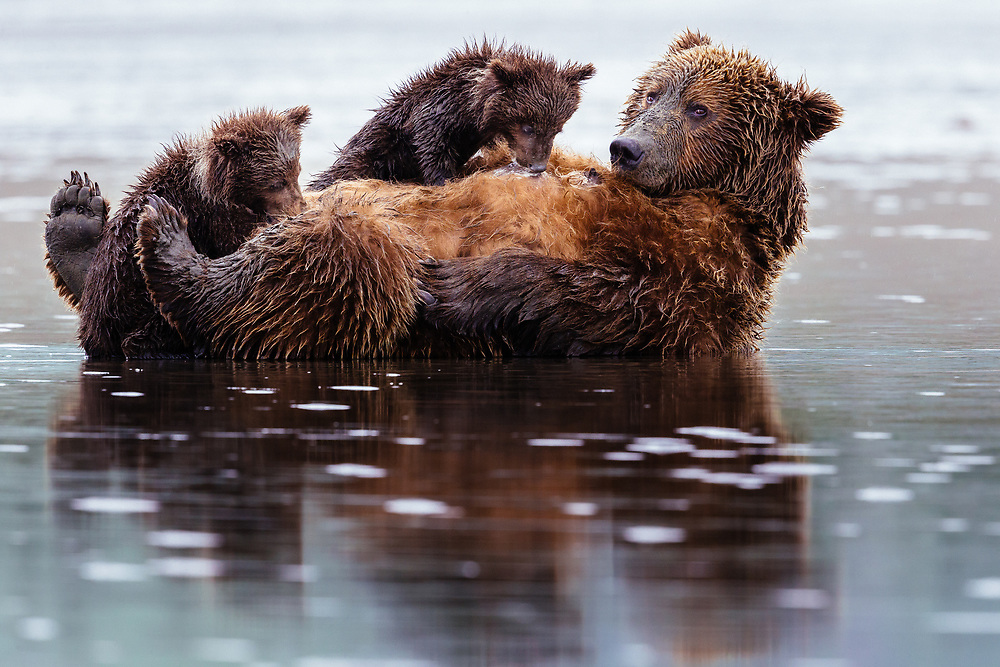 Two cubs on and next to their mother while claming on the Coast of Lake Clark National Park in Alaska.