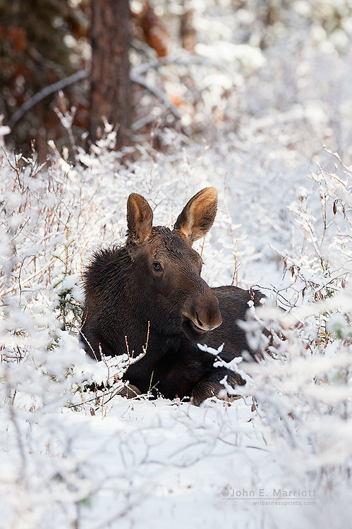 Moose calf in fresh snowfall