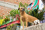 Two roof dogs guard a home in San Miguel de Allende, Mexico. Working class Mexican homes in the historic colonial city often have dogs that spend their life living on the roof serving as an inexpensive alarm system and home guardian.