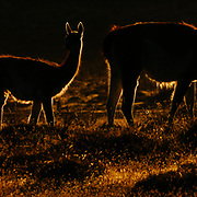 Backlit Guanaco (Lama guanicoe) Torres del Paine National Park, Patagonia, Chile
