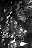 vineyard worker picking grapes for Napa Valley harvest.