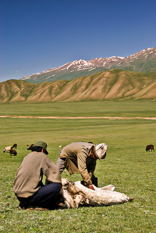 Kyrgyz nomads shearing a sheep in the fields.