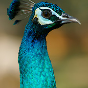 Head of an Indian Peafowl, Pavo cristatus also known as the Common Peafowl or the Blue Peafowl