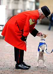 ©London News pictures. 24.02.2011. Sachk Shailes (correct) a Chelsea Pensioner meets one of Battersea Dog and Cats Home's residents, Buster the Jack Russel. Starting in March, the Chelsea Pensioners will become well acquainted with the dogs and cats at the charity at Battersea Dogs and Cats home, when Battersea walks its dogs across the Thames River to spend time at the Royal Hospital. In turn, the charity will invite the veteran British Army soldiers in to interact with the many animals it takes in every year. Picture Credit should read Stephen Simpson/LNP