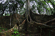 Buttress Roots & Canopy of Ceiba Tree (Ceiba sp.)<br /> Yasuni National Park, Amazon Rainforest<br /> ECUADOR. South America