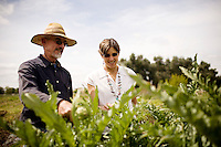 "DAVIS - APRIL 15: Husband and wife team, Pamela Ronald, a plant geneticist, and Raoul Adamchak, a bio-gardener, pick artichokes in the garden at UC Davis, in Davis, Ca., on Friday, April 15, 2011. The couple co-authored ""Tomorrow's Table: Organic Farming, Genetic and the Future of Food."""