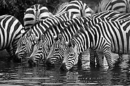 Close-up of zebra herd drinking water, Serengeti National Park. © 1999 David A. Ponton