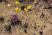 Detail view of sulphurflower buckwheat and western juniper root in the Oregon Badlands Wilderness near Bend