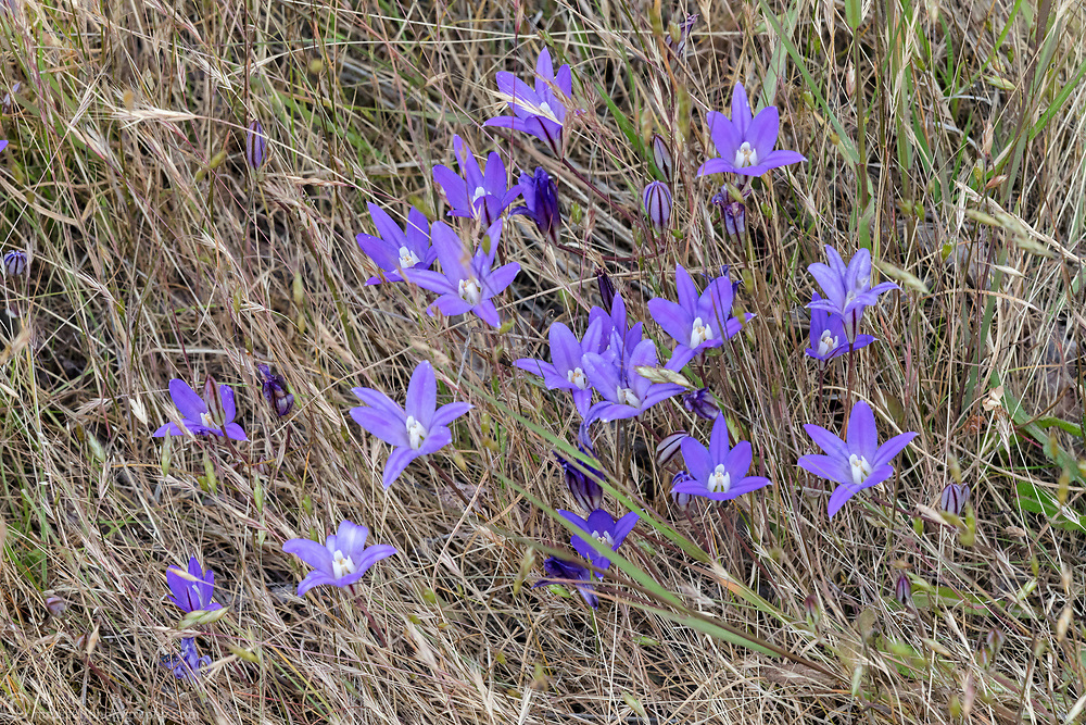 A group of Harvest Brodiaea (Brodiaea coronaria) blooming in the grasses at Ruckle Provincial Park. Harvest Brodiaea is also known as Crown Brodiaea.  Photographed in the campground area at Ruckle Provincial Park, Salt Spring Island, British Columbia, Canada.