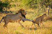 A male lion pursues a lioness in an attempt to mate