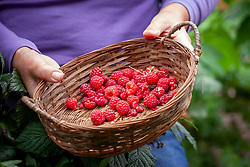 Holding a basket of harvested raspberries - Rubus idaeus