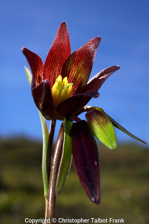 USA, California, San Diego.  Chocolate Lilly wildflowers in Rattlesnake Canyon