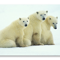 This family of three polar bears briefly poses for a portrait on the Hudson Bay near Churchill, Manitoba Canada.