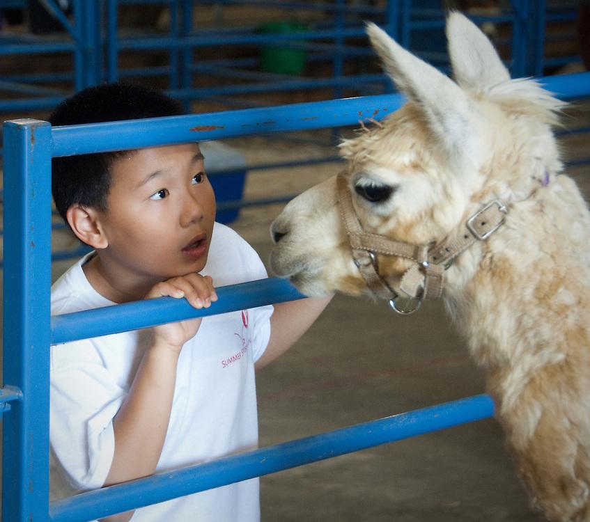 Little boy looking at livestock