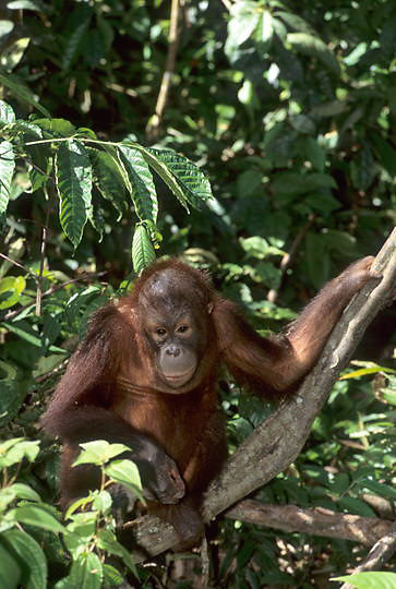 Orangutan, (Pongo pygmaeus) Young in jungle of rain forest. Northern Borneo. Malaysia. Controlled Conditons.