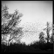 Swarms of starlings are common in the spring in the Mississippi Delta.