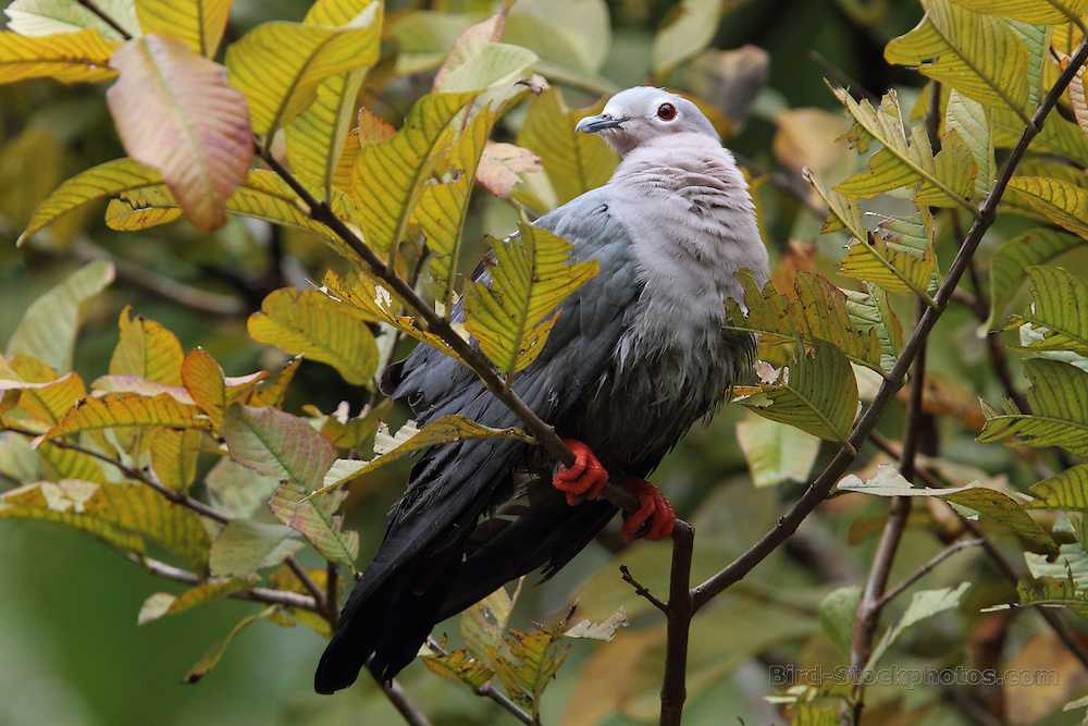 Island Imperial Pigeon, Ducula pistrinaria, Papua New Guinea, by Jonathan Rossouw