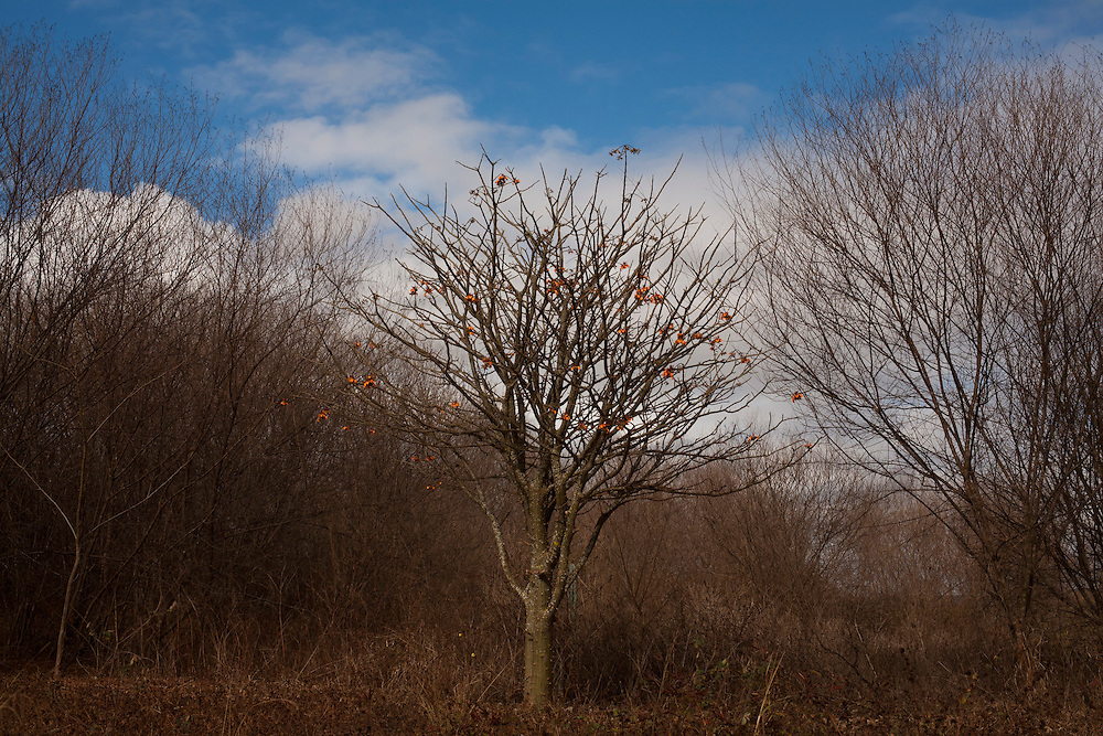 Salinas_MG, Brasil...Arvore tipica do nordeste, Imburana Cambao (Bursera leptophloeos)...Typical tree in northwest Imburana Cambao(Bursera leptophloeos)...Foto: LEO DRUMOND / NITRO