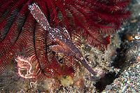 Robust Ghostpipefish, with crinoid background<br /> <br /> Shot in Indonesia